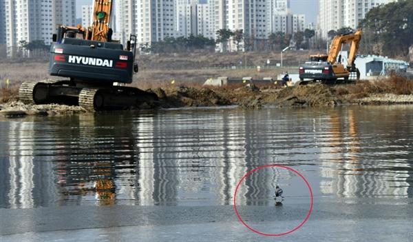 공사로 인해 터전을 빼앗긴 할미새가 중장비 인근까지 날아들어 지켜보고 있다.
