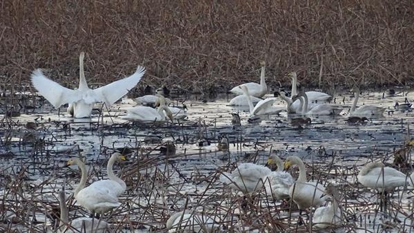 서산·태안환경운동연합이 11일 '2018년 석지저수지 조류 모니터링' 결과를 발표하면서, 석지 저수지가 천연기념물인 큰고니와 노랑부리저어새 등의 서식지임을 밝혔다.