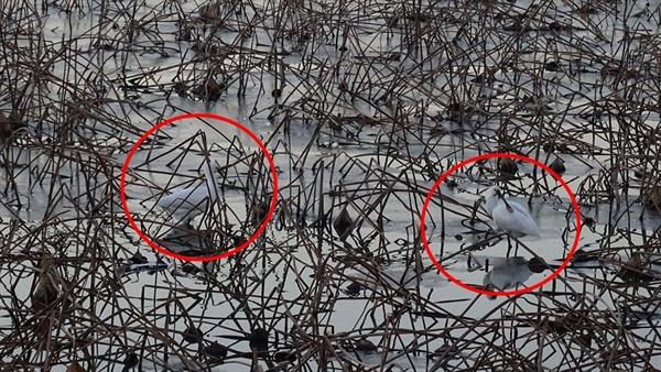 서산·태안환경운동연합이 11일 '2018년 석지저수지 조류 모니터링' 결과를 발표하면서, 석지저수지가 천연기념물인 큰고니와 노랑부리저어새 등의 서식지임을 밝혔다. 사진에 노랑부리저어새가 석지저수지에서 물고기를 잡아먹고 있다.(빨간 원안)