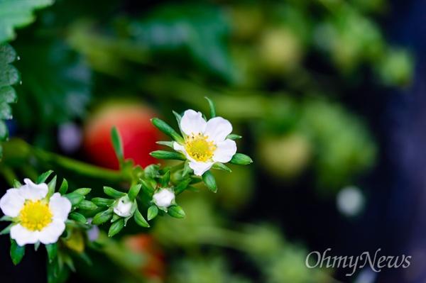 2019년 현재, 국내에서 재배하는 딸기 가운데 열에 여덟은 설향이다.
