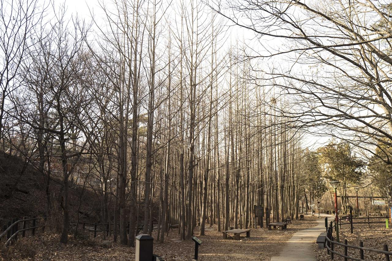 은행 나무 숲  둘레길 은행나무 숲 - 진관사에서 내시묘역길 넘어가는 길