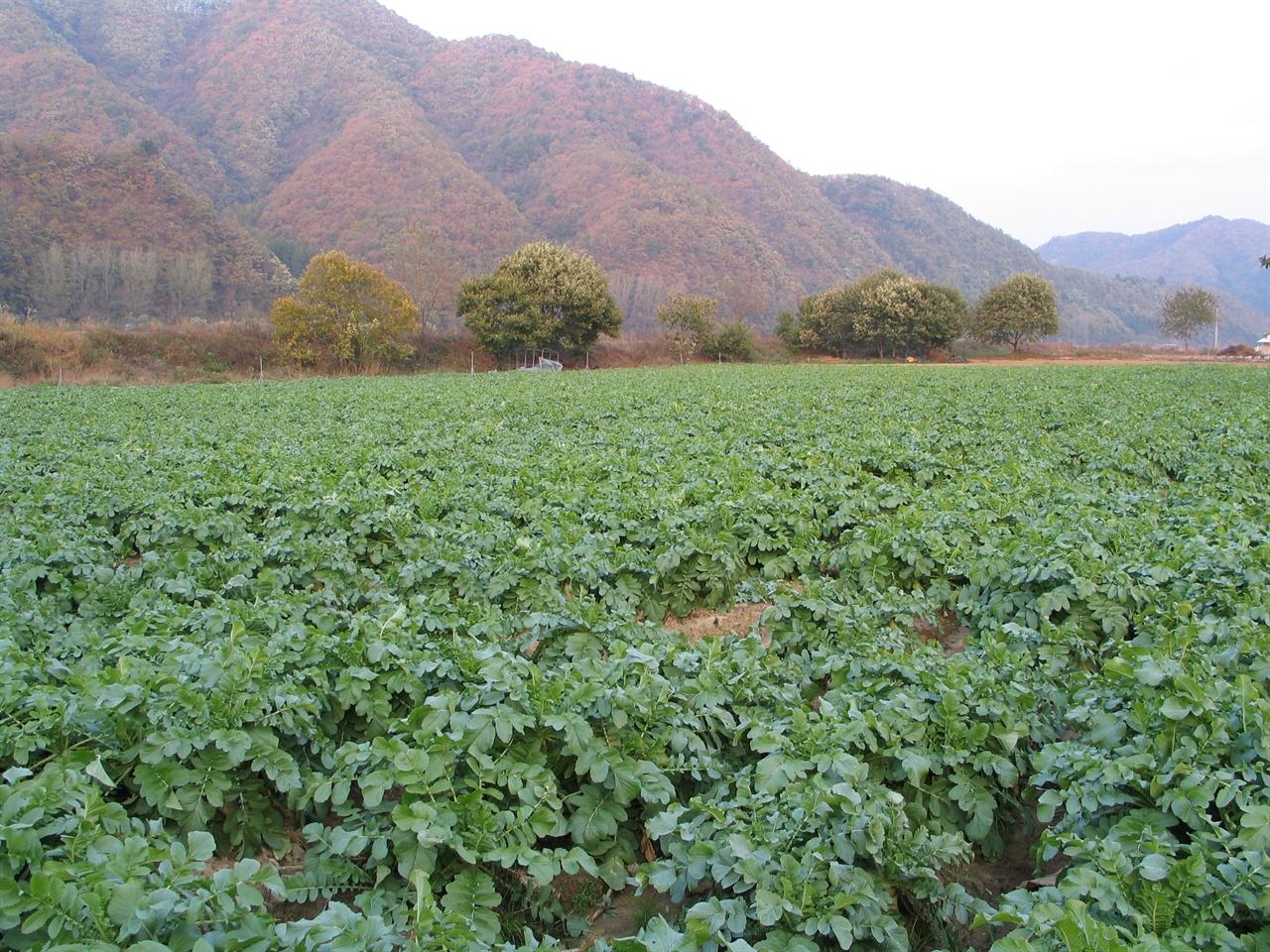 무밭 전경 10월 하순경 찍은 무밭 전경 좀 더 자라면 김장용 무로 수확한다.