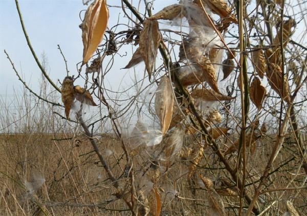박주가리 열매는 한약재로 쓰이며,씨앗은 바람에 날려보낸다