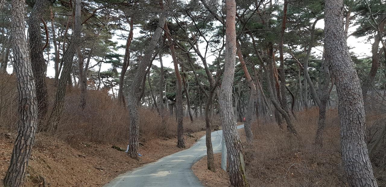 마곡사 부속 암자 은적암 가는 길 소나무가 하늘을 찌른다.