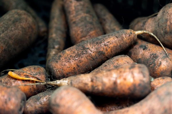 검은 흙이 묻어있는 제주 구좌의 당근. 다디단 맛이 일품이다.