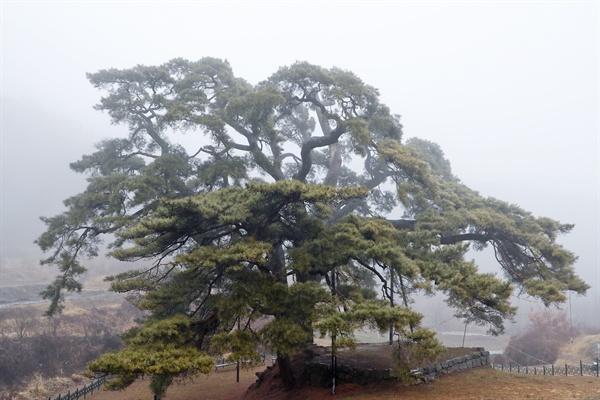 경남 합천 묘산면 회양리 나곡마을에 있는 천연기념물 소나무.