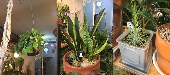 집안에 공기정화식물을 기르면 미세먼지의 악영향을 줄이는 데 도움이 된다. 대표적인 공기정화식물인 디시디아, 산세베리아, 틸란드시아(왼쪽부터).