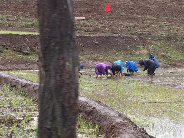 작은 논에 모 심는 평안북도 구장군의 동포들.