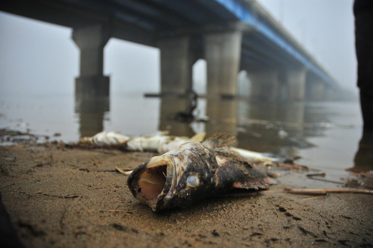 2012년 물고기 떼죽음 사태에 죽은 쏘가리 .