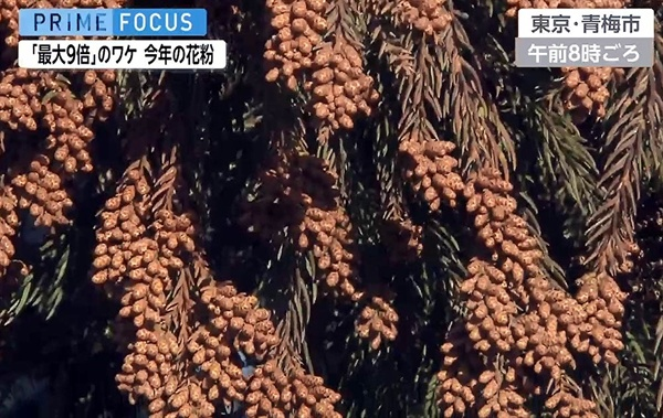 꽃가루가 주렁주렁 매달려있는 삼나무. 일본의 TV가 지난 1월에 찍은 모습이다.
