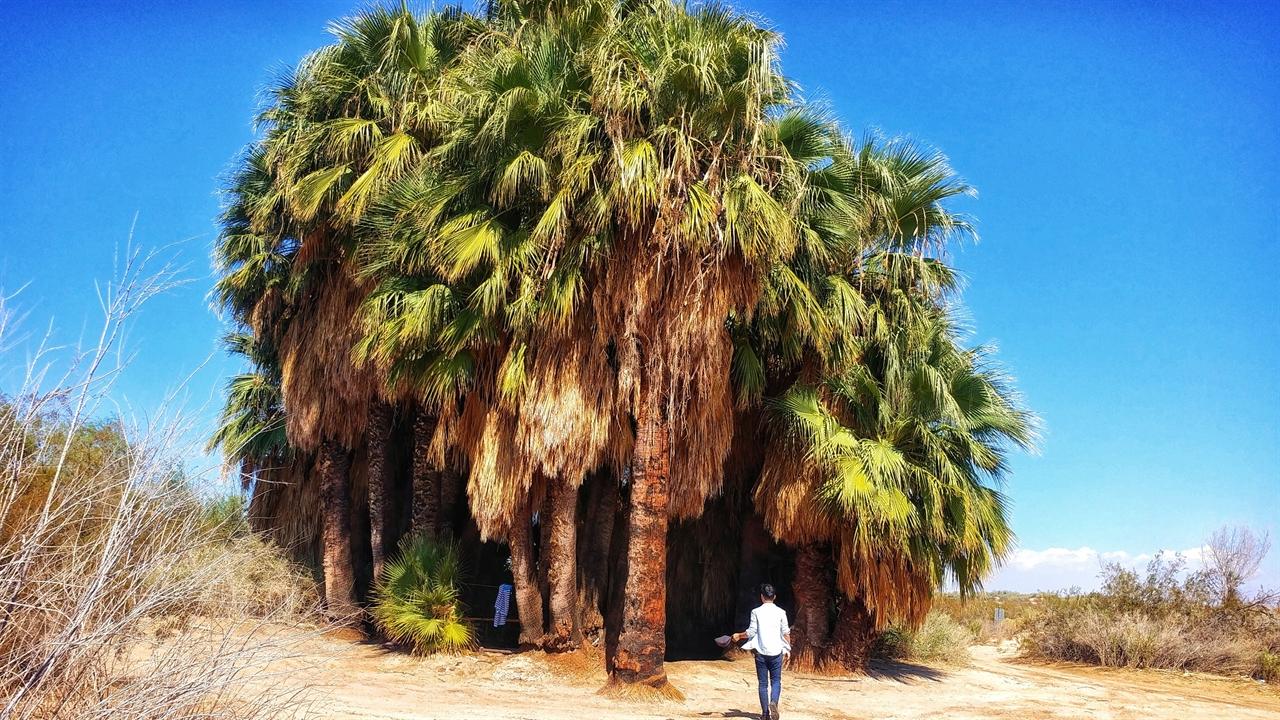 임페리얼 카운티 브롤리에 있는 파이브 팜스 온천. 사막 한 가운데 야자수로 뒤덮여 있다.