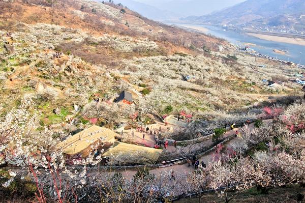 광양매화마을 섬진강은 굽이굽이 흘러 화사한 매화꽃 덮은 마을을 안고 있다.
