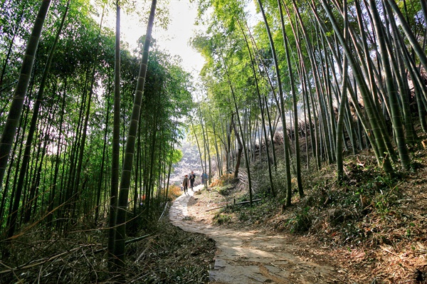 청매실농원의 대나무 숲길 영화<취화선>을 촬영한 곳으로 대나무향과 매향이 그윽한 산책로입니다.