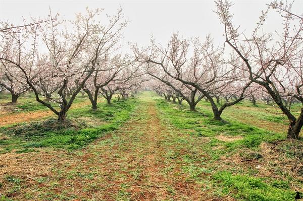 보해매실농원 이곳은 주류 전문회사인 (주)보해가 운영하는 매실농원으로, 봄이면 흰빛과 분홍빛의 매화꽃 별천지다. 보해는 1979년 전남 해남군 산이면에 규모인 약 14만평의 매실농원을 만들고자 매화나무 14,500 그루를 심었다.