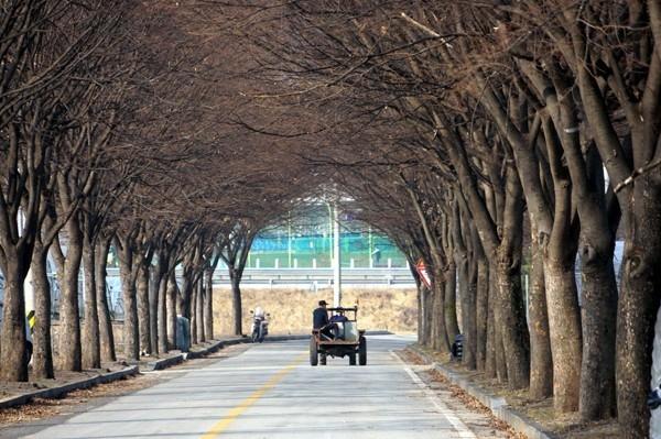 보은군이 삼년산성 가는 길에 심은 느티나무 가로수(보은 정보고∼기상관측소∼삼년산성 구간) 100여 그루를 모두 베어내기로 결정해 논란이 일고 있다.