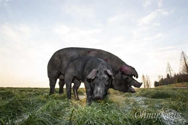 국립축산과학원에서 참진흑돈과 촉진두록을 교배한 '우리흑돈'은 품종이 등록된 한국 돼지다.