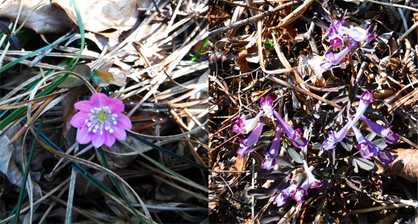 봄소식을 전해주는 듯 꽃을 피운 노루귀(왼쪽)와 현호색(오른쪽).
