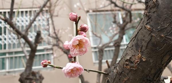 봄소식을 전하는 꽃망울 겨울 추위를 이기고 밝고 화사한 꽃망울 터뜨리는 매화꽃이 아디들을 닮았다.