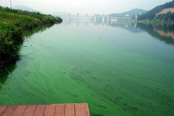 4대강 사업이 끝나고 금강에는 녹조가 해마다 창궐했다. 공주보 앞에도 녹색 물감을 풀어 놓은 듯 녹조가 피어있다.