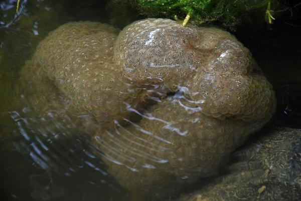 저수지나 댐 등에서 발견되던 외래종 태형동물인 큰빗이끼벌레(Pectinatella magnifica)가 4대강 사업 이후 금강에서 처음으로 발견됐다.