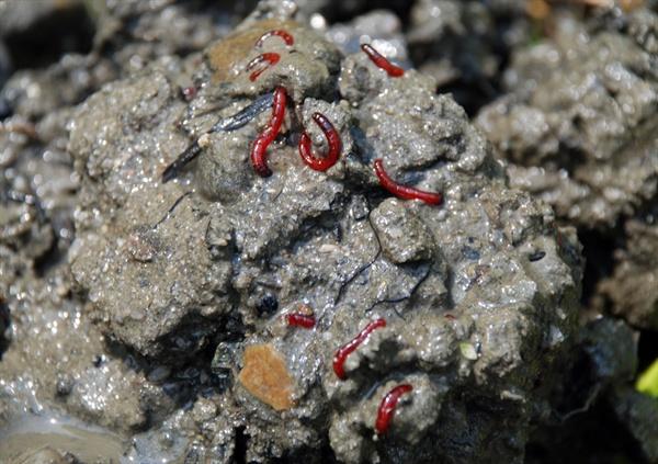 환경부 수질등급별 수생생물 수질등급 판정 기준표에 따르면 실지렁이와 붉은깔따구가 서식하는 곳은 '수돗물로 사용할 수 없고 오랫동안 접촉하면 피부병을 일으킬 수 있는 물'로 공업용수 2급, 농업용수로 사용가능하다. 4대강 사업 이후 공주보 상류 강바닥에 서식하고 있는 붉은깔따구 유충.