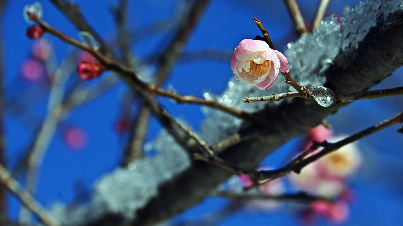 봄눈 속의 매화 설중화를 촬영하겠다며 응달의 눈을 가져다 꽃에 뿌리는 등 연출을 하는 이들은 이와 같은 사진을 얻으려면 좀 더 부지런을 떨어야 한다.