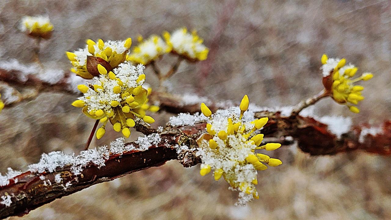 산수유꽃과 봄눈 여린 산수유 꽃자루에 눈이 한 송이, 또 한 송이 쌓여간다. 용케도 저 무게를 견뎌내고 있다.