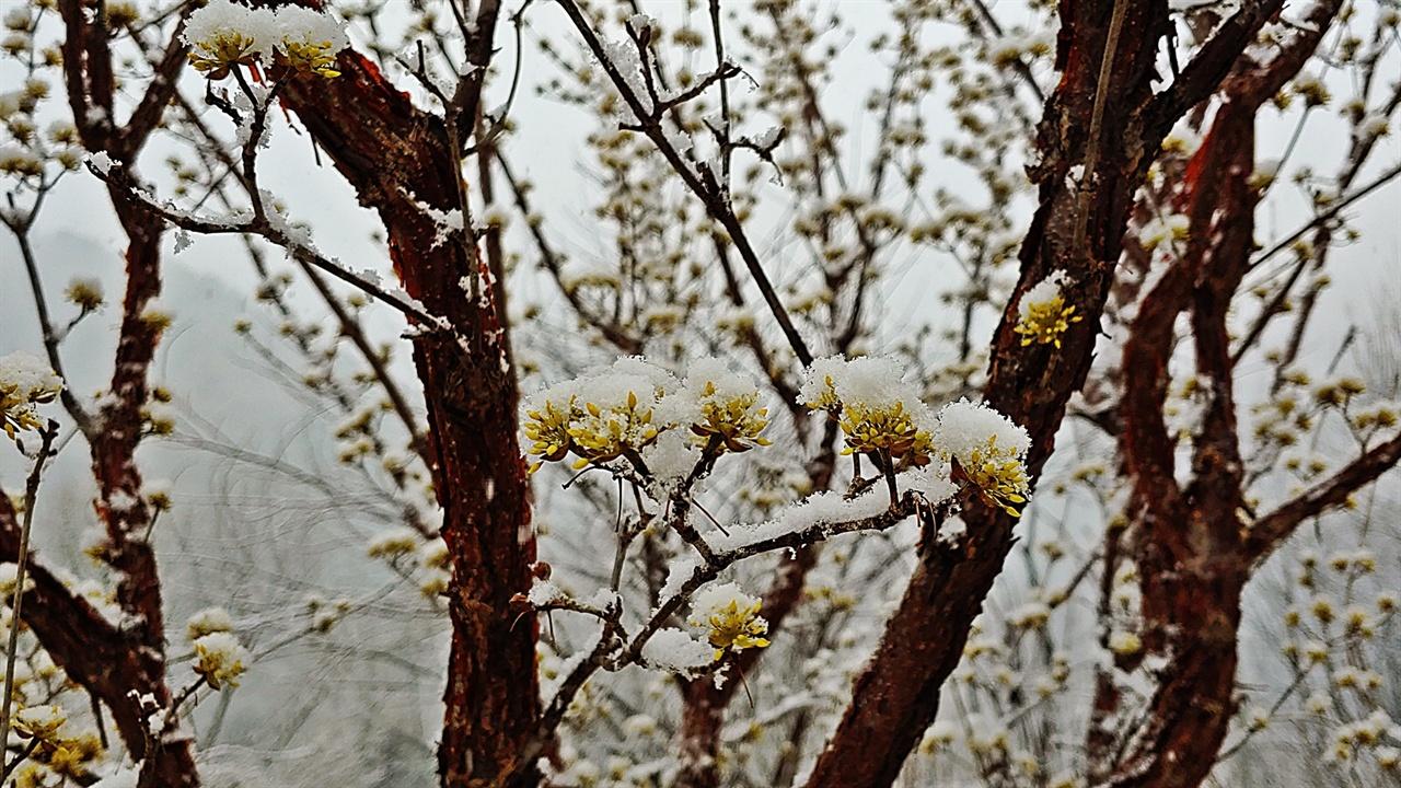 산수유꽃과 봄눈 점차 봄눈은 의도한 작품을 완성하기 위해 움직임이 빨라졌다. 세상의 어떤 작가도 이보다 빠르게 온누리를 일시에 채색할 수는 없다.