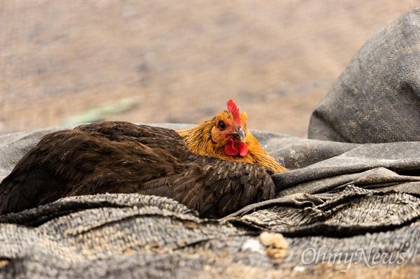 우리맛닭은 고기를 먹기 위해 육성한 품종이지만 알을 낳는다. 알을 잘 낳은 것은 산란계로, 잘 성장하는 것은 육계로 구분한 것은 사람이지 닭이 아니다. 우리맛닭이 일 년 동안 낳은 알 갯수는 160개 안팎, 외래종 산란계는 290개 안팎으로 100개 이상 차이가 난다.