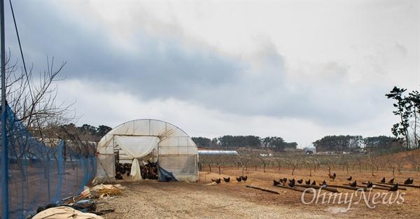 우리맛닭을 키우는 김제 아리랑농원은 아리랑문학관 근처에 있어서 농장 이름을 아리랑으로 지었단다. 꾸지뽕과 오디를 재배하는 농원에서 닭을 키우는데, 여느 곳과는 달리 닭을 풀어놓고 키운다. 닭장은 있지만 문은 항상 열어놓는다. 나무와 나무 사이 황토 사이에 알을 낳을 수 있도록 산란 장소를 마련했다.