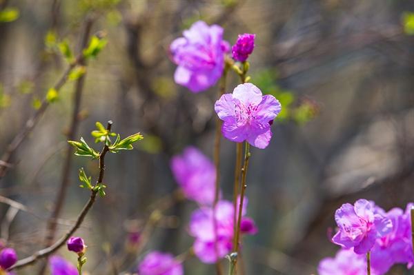 광주 서구 풍암생활체육공원의 진달래