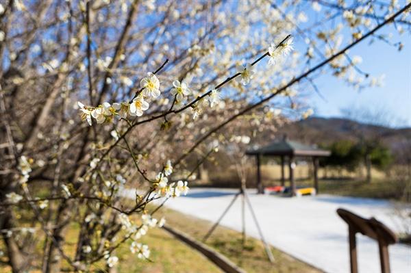 광주 서구 풍암생활체육공원의 벗꽃