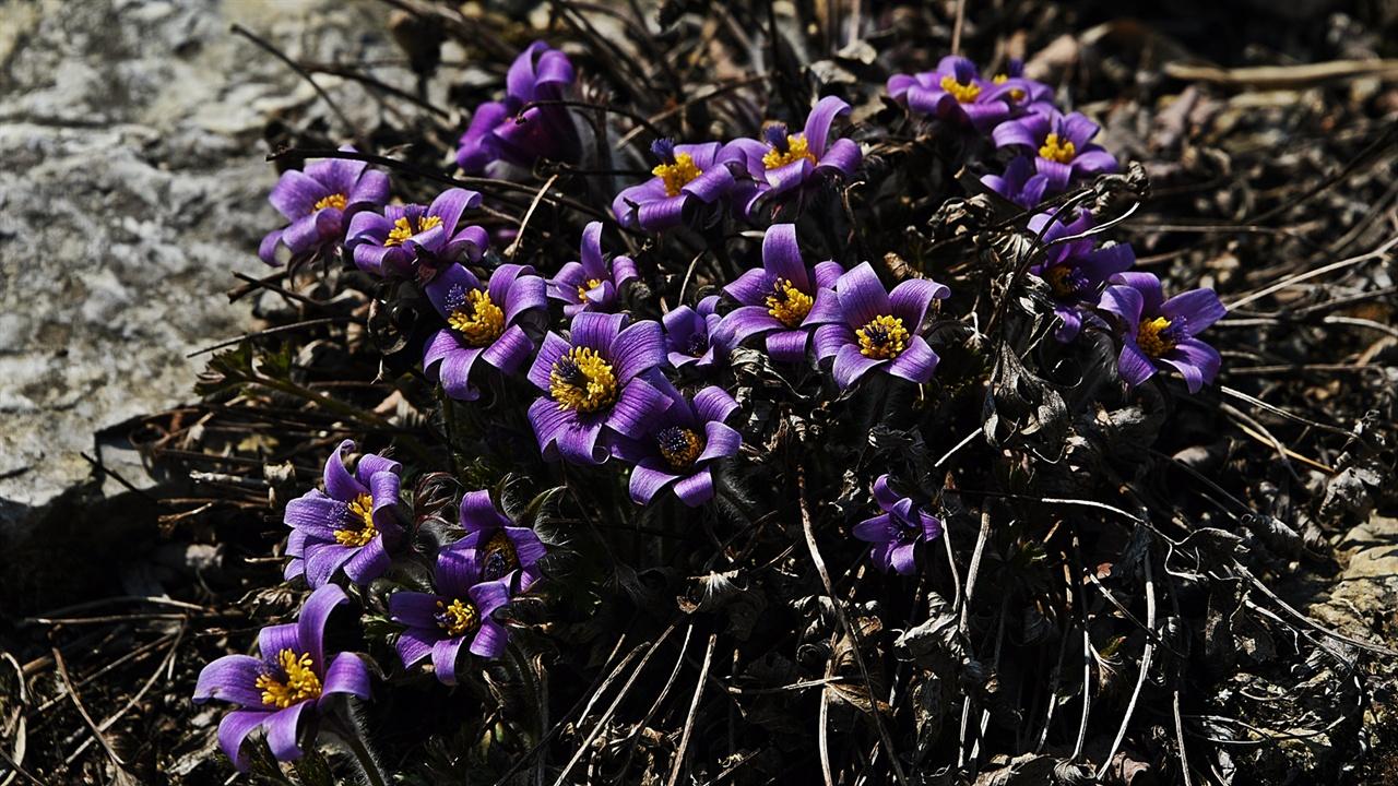동강할미꽃 동강댐건설을 막은 장한 꽃이 동강할미꽃이다. 그래서일까. 동강할미꽃은 하늘을 향해 고개를 곧게 세워 핀다.
