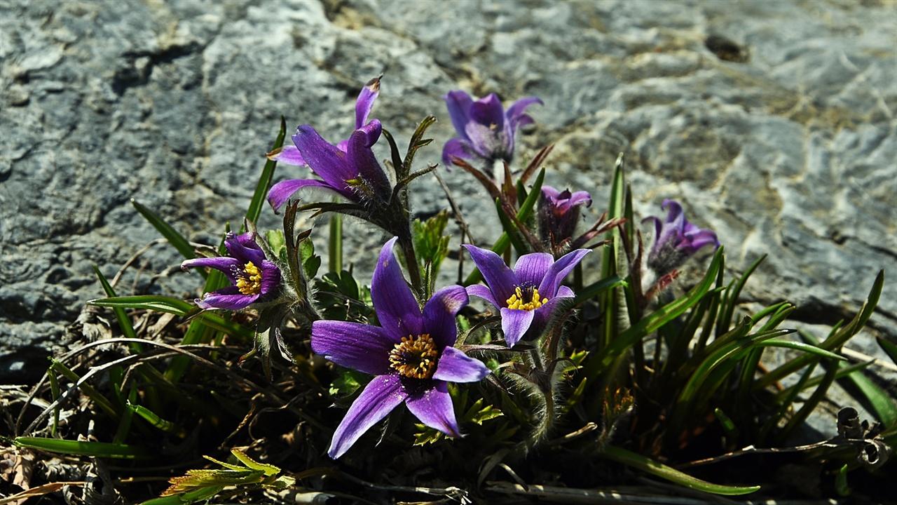 동강할미꽃 석회암 바위틈에 뿌리를 내리고 살아가는 동강할미꽃은 우리나라의 몇 안 되는 특산종이다.