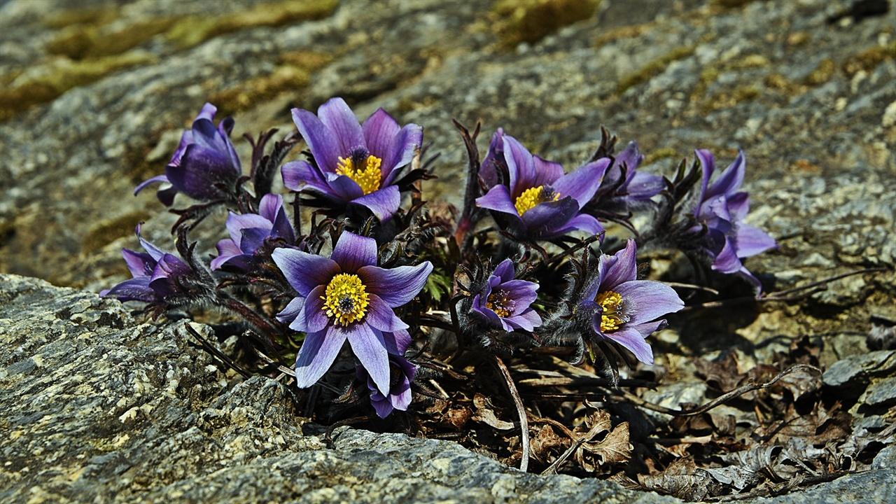 동강할미꽃 이제 막 꽃이 피기 시작한 동강할미꽃이 곱다. 볕이 좋은 날 솜털 보송보송한 동강할미꽃이 어미가 물고 올 먹이를 기다리는 어린 새의 주둥이 같다.