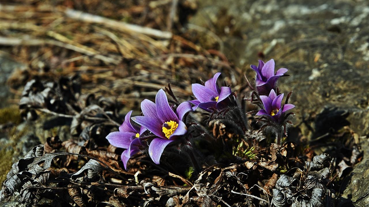 동강할미꽃 한 해 전 먼저 봄을 만났던 잎은 포근하게 막 꽃을 피운 동강할미꽃을 감싸준다. 대를 이어 꽃이 지고 자란 잎은 내년에 다시 그 역할을 해낼 것이다.