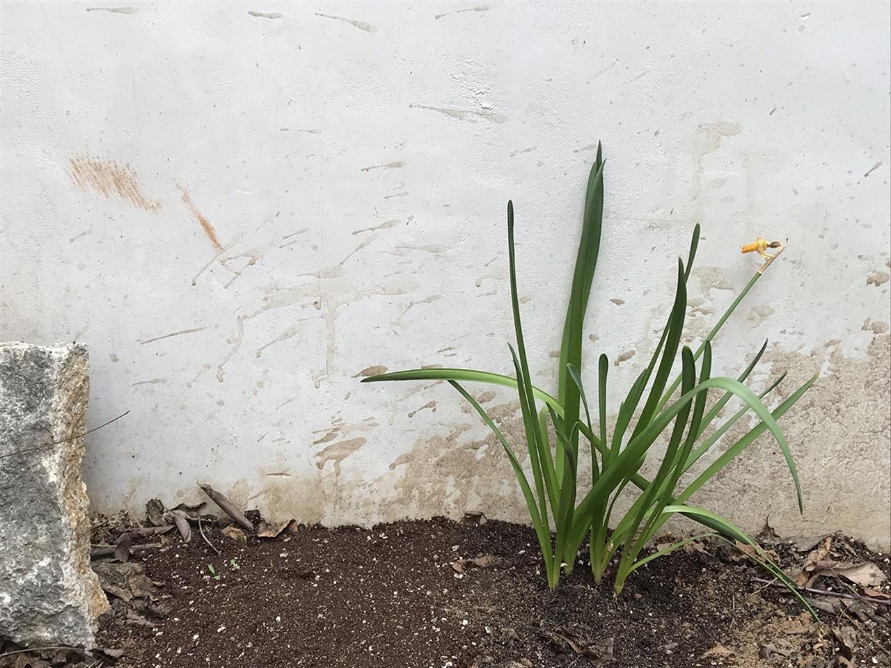 수선화는 마당에서 자리를 잘 잡을까? 패랭이는 다시 한 번 흙을 이겨내고 하늘을 향해 얼굴을 잘 내밀까? 좋은 흙, 양지 바른 땅에 잘 옮겨두었으니 다음의 일은 이들의 몫이다. 나는 그저 응원할 뿐
