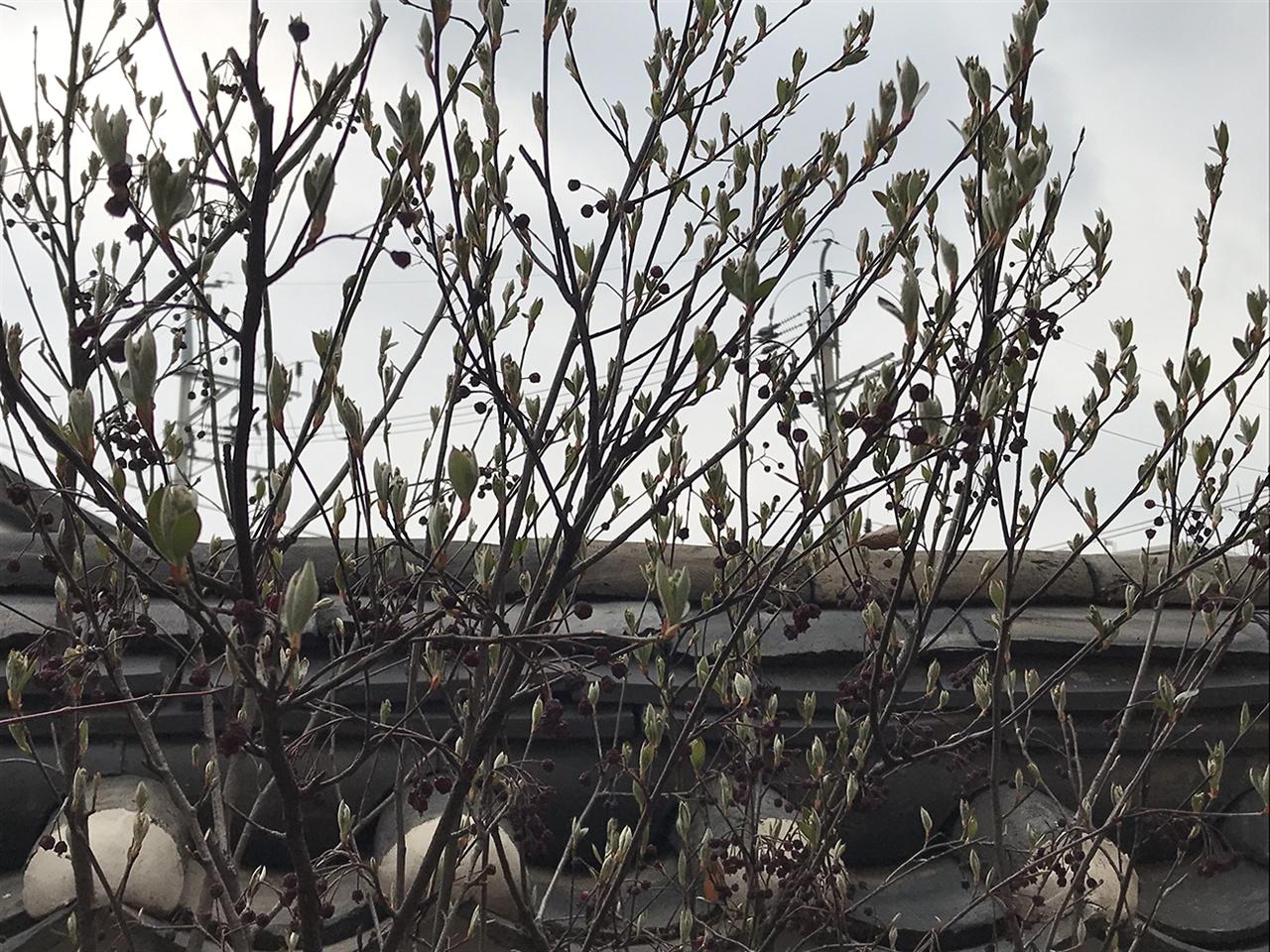 마당에 심은 이 나무의 변화로 봄을 느낀다. 나무도 자라고 내 마음도 자란다.