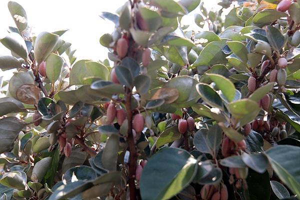 철모르는 보리수가 주렁주렁 열려있었다. 육지에서는 5~6월에 꽃이 피어 10월에 열매가 익는다. 그만큼 날씨가 따뜻하다는 뜻도 된다