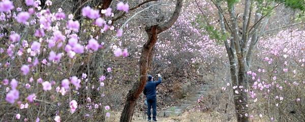 거창 건흥산 진달래꽃.
