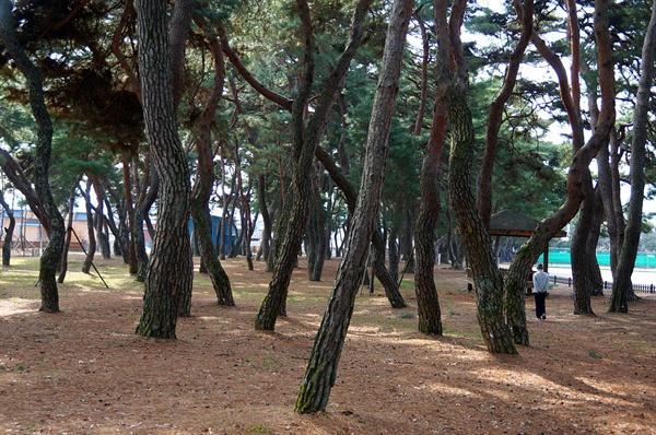 금당실 송림 수해와 매서운 북서바람을 막으려고 심은 마을 숲이다. 서쪽의 사악한 기운을 막는 비보숲으로 지금은 마을사람들 쉼터 역할을 톡톡히 해낸다.