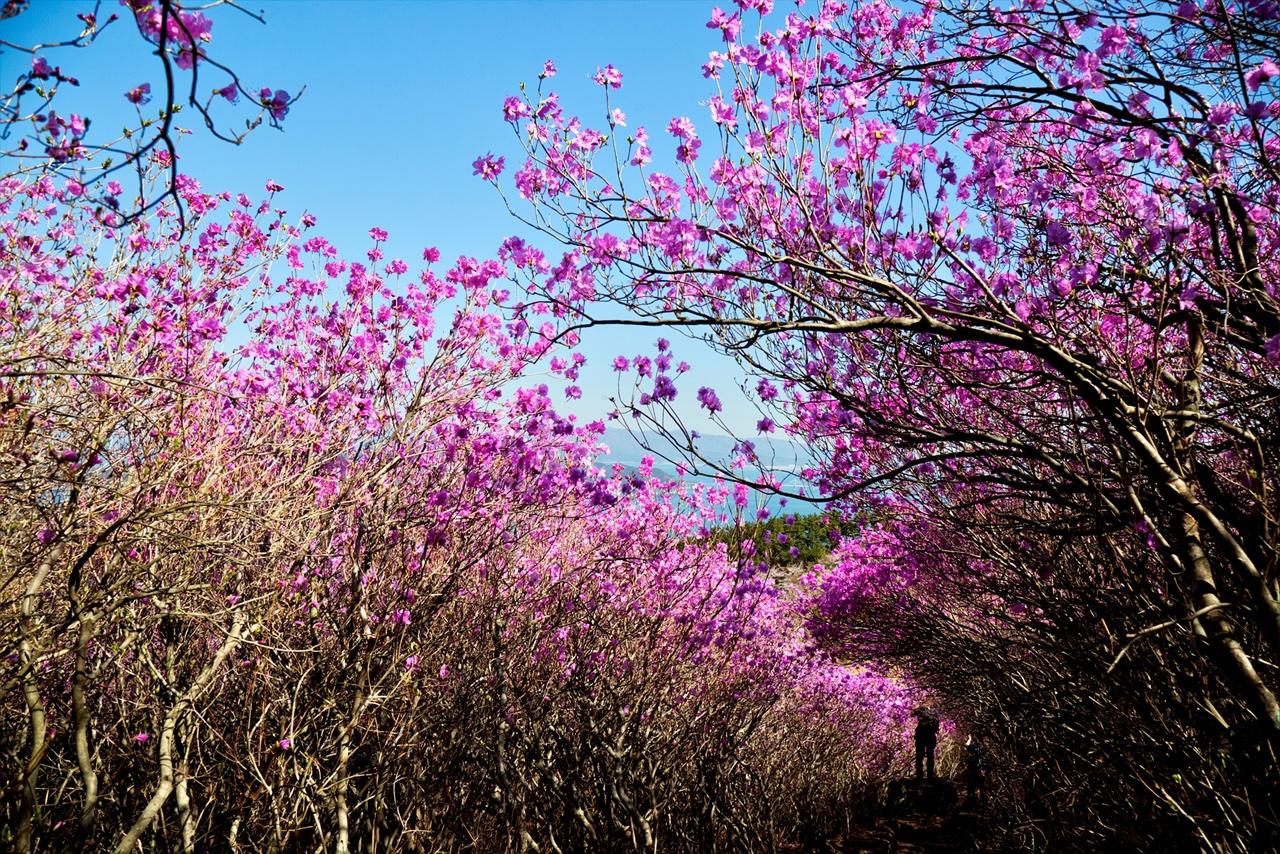 거제 대금산 진달래 터널 파란 하늘과 어우러진 분홍빛 터널(2019.04.02. 촬영)
