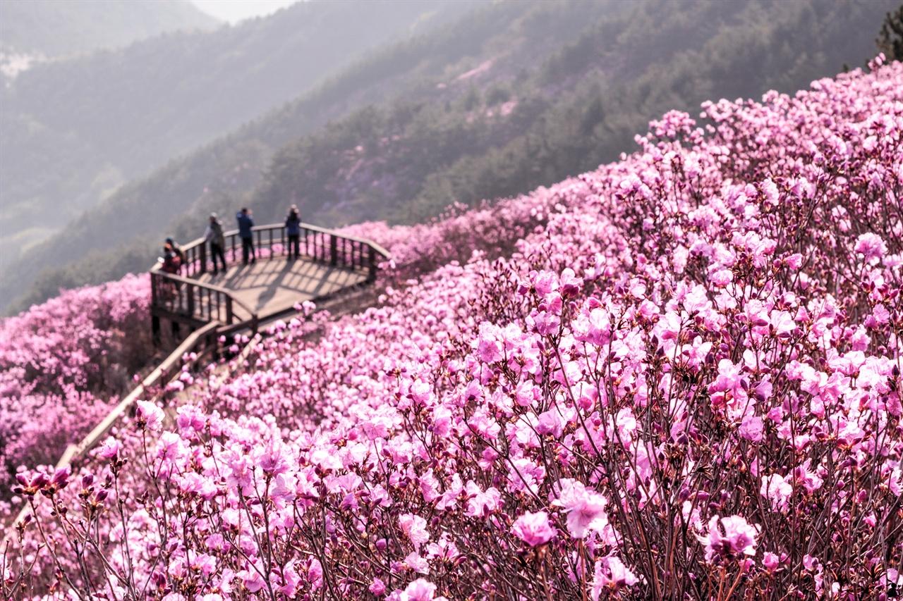 창원 천주산의 핫한 용지봉 용지봉의 전망 데크를 중심으로 펼쳐진 진달래 군락은 전국의 산객을 불러 모을 뿐 아니라 산을 모르는 상춘객들까지 합류하게 한다.