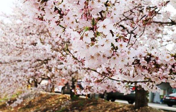 해미천 벚꽃길이 이곳을 찾는 이들의 입소문을 타고 널리 알려지면서, 지난 2017년부터는 지역주민들 주도로 해미 벚꽃축제가 시작돼 오는 13.14일 이틀간 제3회 해미 벚꽃축제가 개막한다.(자료사진 2017)