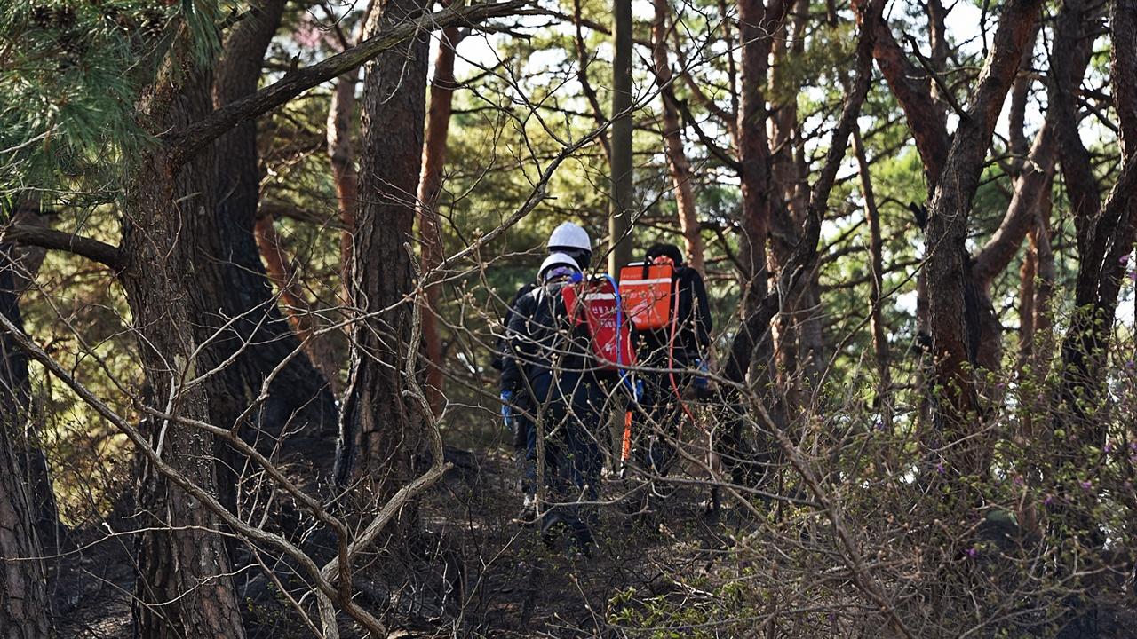 잔불정리 산불현장의 최종단계는 잔불정리다. 소나무의 부리에 붙은 불은 사흘이 지나도 재발화 할 수 있다. 산불진화대 인력이 현장으로 투입되고 있다.