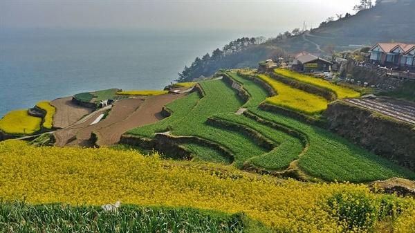노란 유채꽃과 푸른 마늘밭이 아름다운 다랭이 논이다.