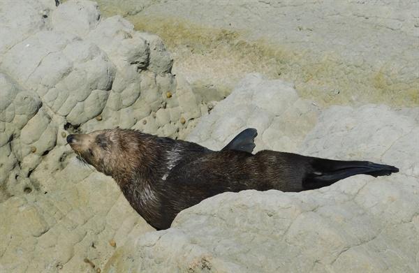 한가하게 낮잠을 즐기는 바다표범. 주위에서 사람이 서성거려도 관심을 보이지 않는다.