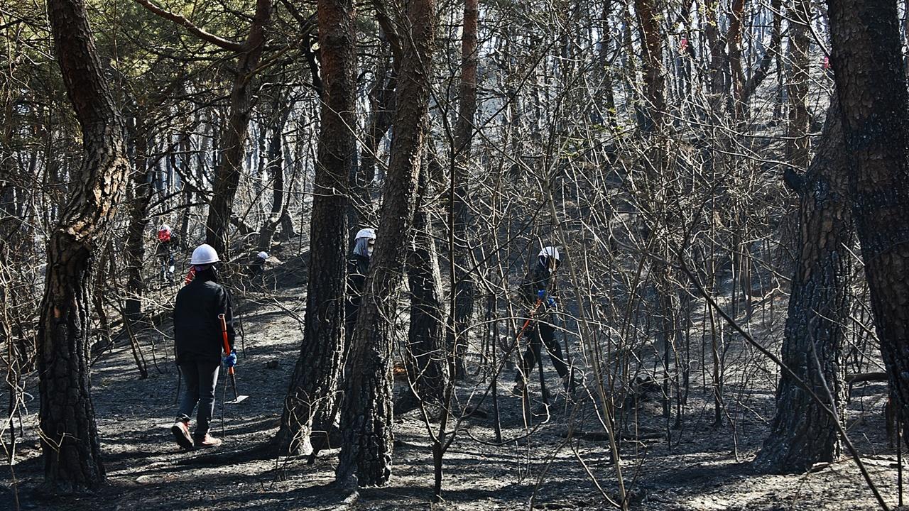소나무 숲 잔불진화 소나무 숲에 들어서자 잔불진화작업에 투입된 이들이 곳곳에서 눈에 들어온다.
