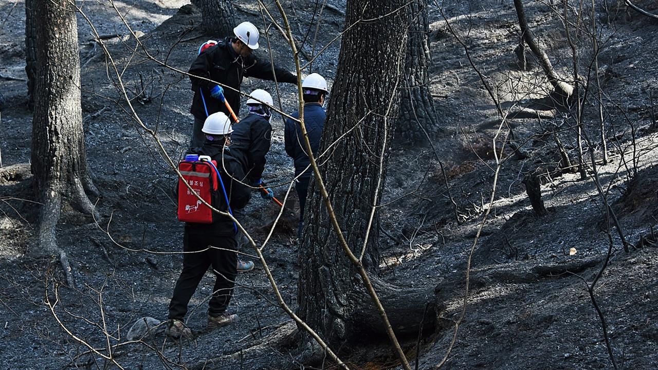 소나무 숲 잔불진화 깊이 박힌 잔불을 제거한 작업팀이 이동하자 남녀 1조가 된 팀이 잔불제거 작업을 하고 있다.