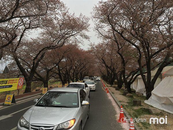 벚꽃 잎이 바람에 떨어져 있는 경주 흥무로 벚꽃터널 모습